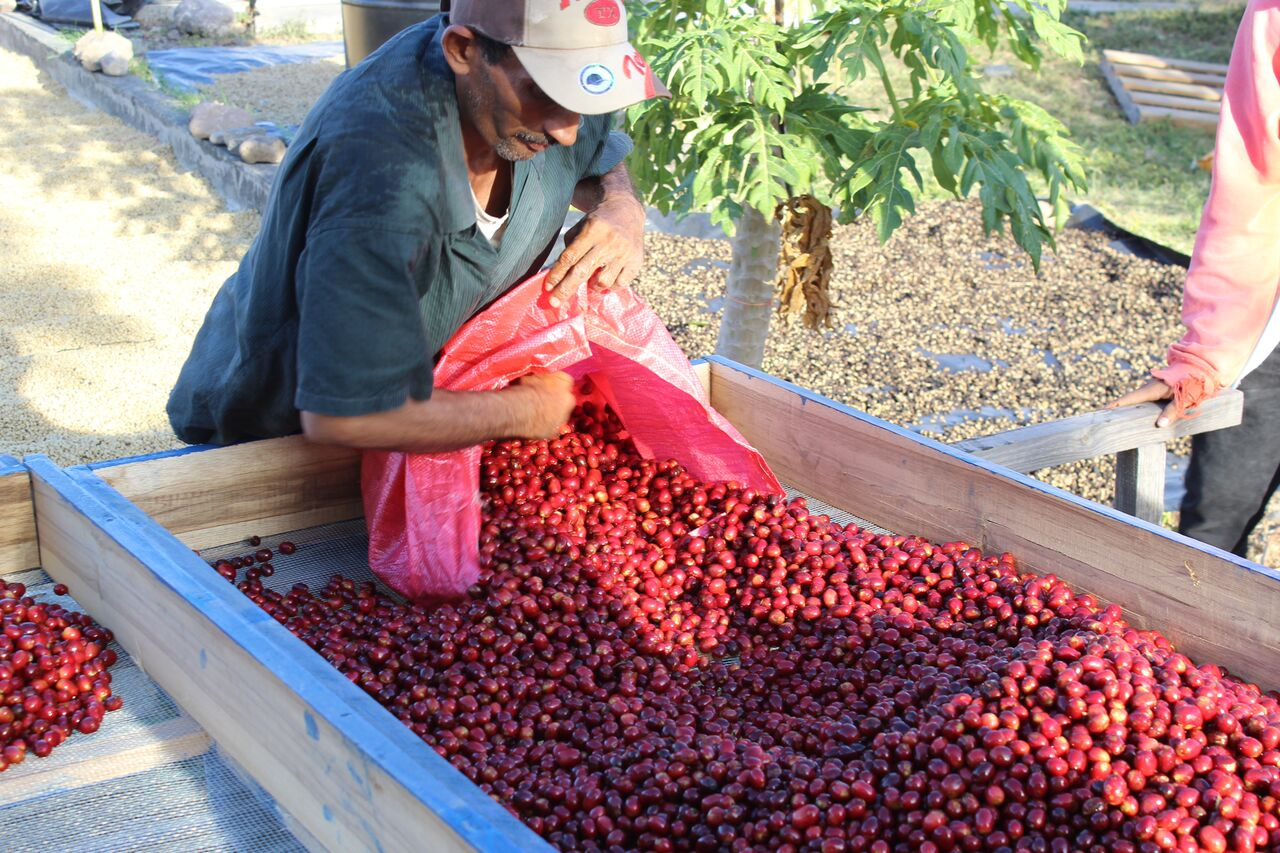 Gold Mountain Coffee Growers: Why We're Sirius About Nicaraguan Coffee